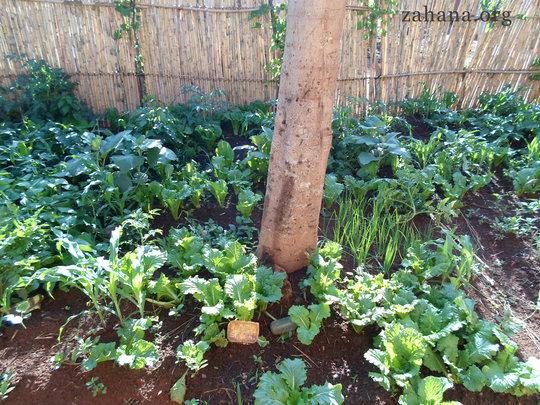 Vegetabole garden in Fiadanana