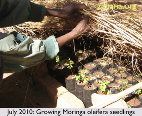 July 2010: Zahana's Gardner growing Moringa
