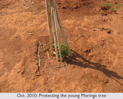 OCT 2010: Protecting young Moringa tree