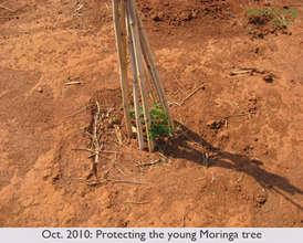 OCT 2010: Protecting young Moringa tree
