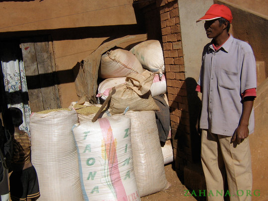 Rice paddy stored in bags for sale