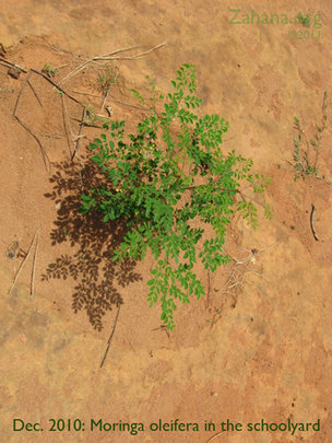 December 2010: Moringa growing well