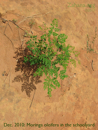December 2010: Moringa growing well