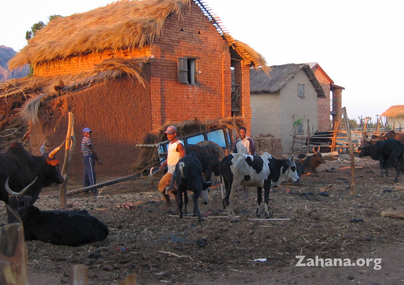 Zebu and a carraige in the background