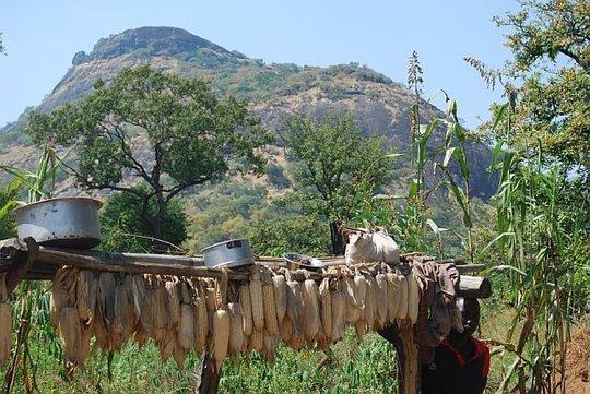 Women pound Dried maize using Hand!