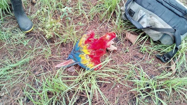 Hungry scarlet macaw chick found