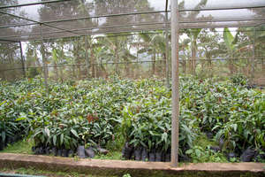 Mango tree seedling - We buy from this nursery