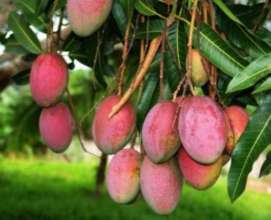 Indian Mango Fruit Good For life!