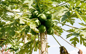Pawpaw Tree - outcome of our hard work!