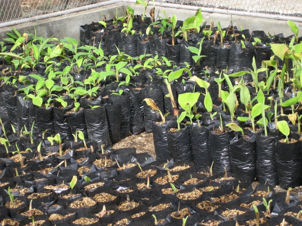 Banana plants and seedlings - GG visits Lambi Fund