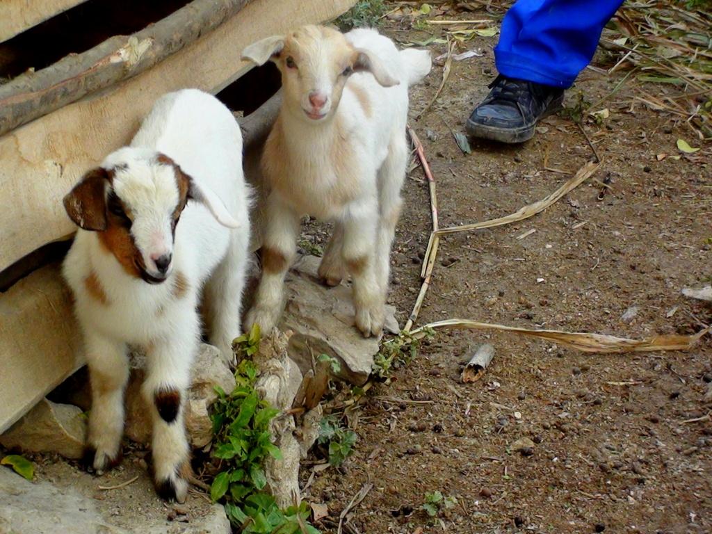 Kid goats!
