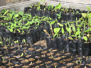 Banana plants and seedlings