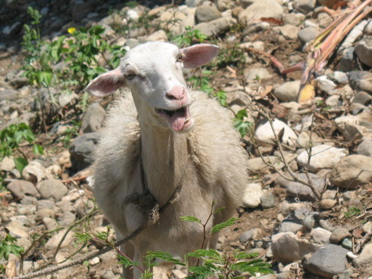 A very happy and healthy sheep!