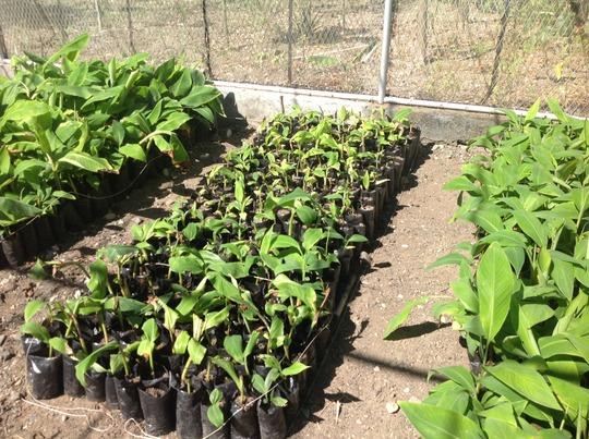 Expanding plantain production
