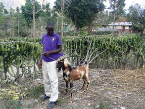 Goat breeding project in Haiti