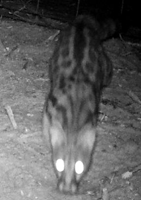 Genet cat seen on our night cam camera