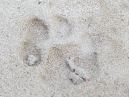 Leopard tracks, mother and cub were seen recently
