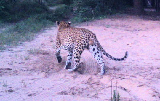 Leopard visiting, seen from security bush camera.