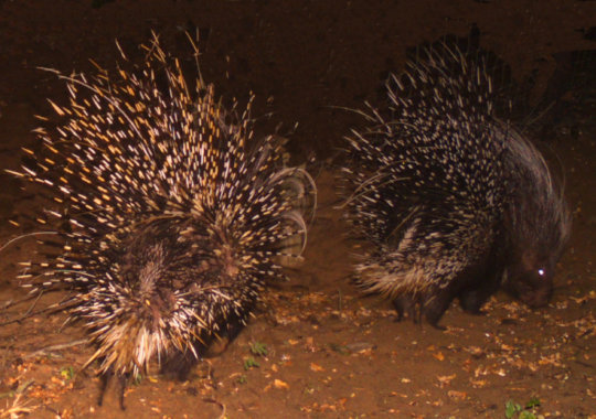 Porcupine, one of many diverse species protected