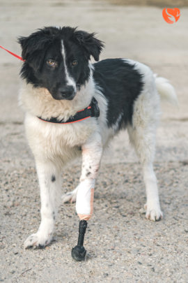 Lucky with a bionic leg