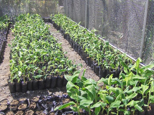 Developing healthy resistant strain plantain trees