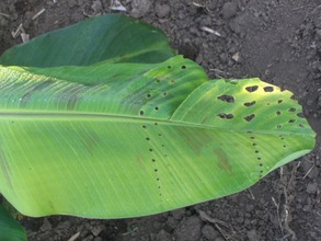 An initial infection of Sigatoka