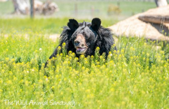 Dillan the Asiatic Black Bear
