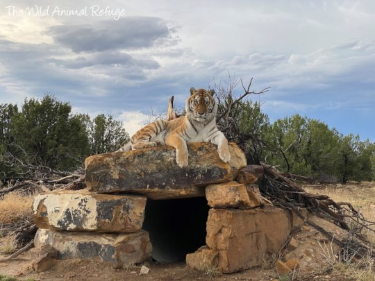 Bailey the Tiger sitting on his den