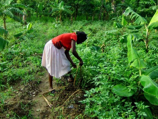 Haitian woman working in her field