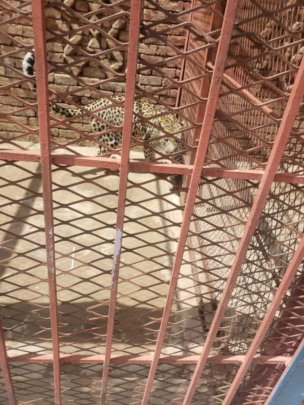 Only three tigers at Sana'a Zoo