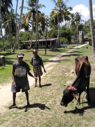 Looking after the cows at Anandapura Farm