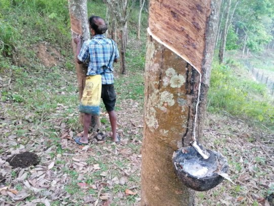 Rubber tapping at Asokapura Farm