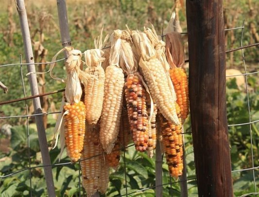 Corn (mealie) Drying on a Fence