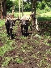 A farmer with an Ox-Plow