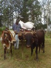 Wilson with his cattle cart