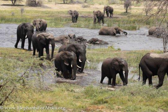 Bulls in the Boteti River