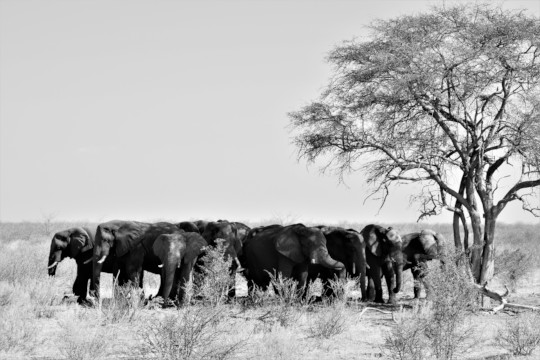 A group of male elephants resting under a tree