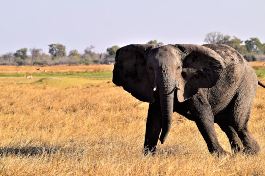Nervous response of a young elephant