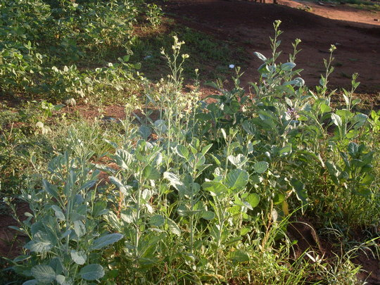 Greens for seed production