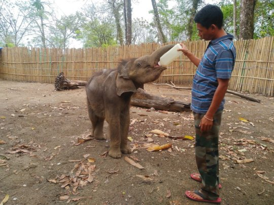 'Bokhonto' being fed by the caretaker