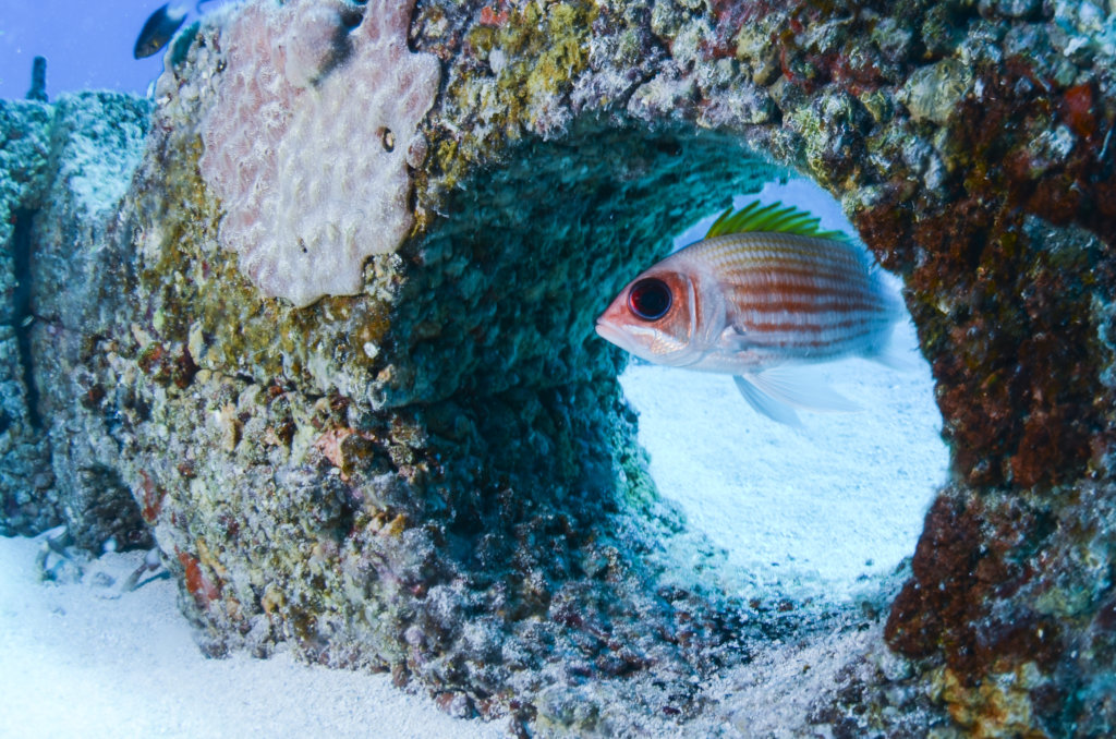 Squirrelfish living in Reef Life habitat.