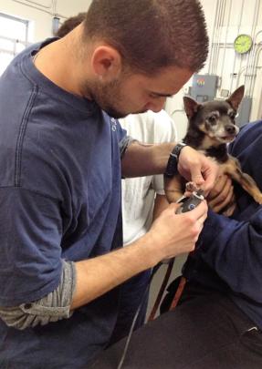 Salvador grooming Chihuahua