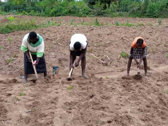 A caregiver and two OVC planting
