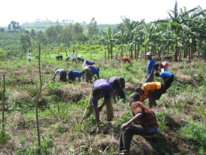 Secondary Students Harvesting Pineapples