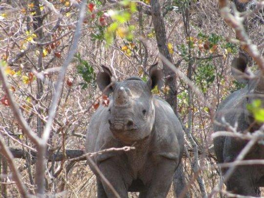 Black rhinos  reintroduced in Gonarezhou NP