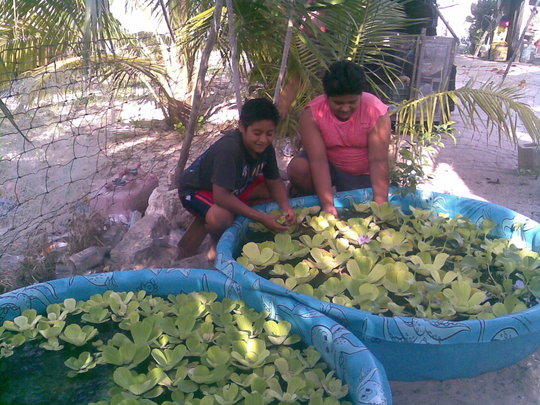 Children & aquaponics,saving Mayan apple snail