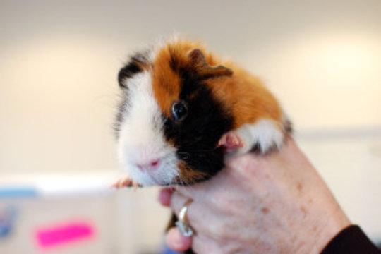 Rescued Guinea Pig