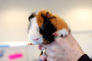 Rescued Guinea Pig