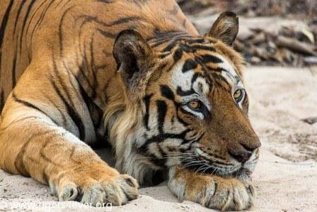Wild Tiger in Dry Riverbed