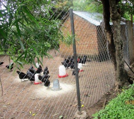 Tiko's Black Australobe chickens with a new fence